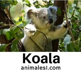 koala animal en peligro de extincion