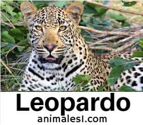 el leopardo animal